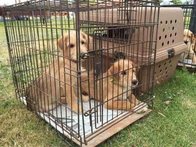 犬たちの譲渡会